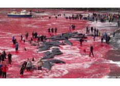 Hundreds of Whales Slaughtered in Denmark, Sea turns Red