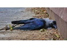 J&K:Alert sounded in Kupwara as dead crows test positive for avian influenza
